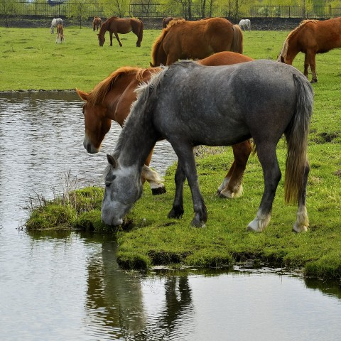 Horses Drinking Water at a Pond on a Farm