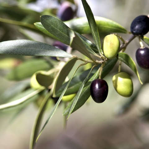 Closeup of an Olive Branch