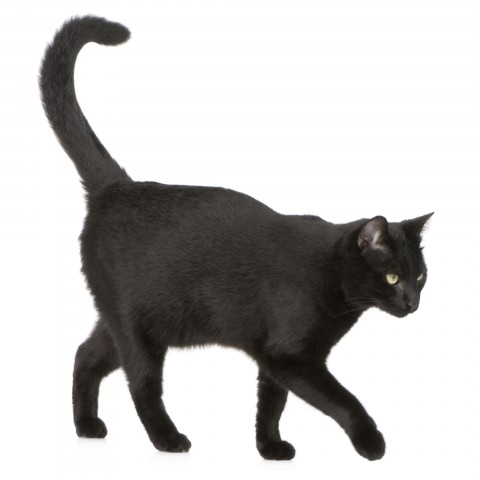 A Black Cat Against a White Background