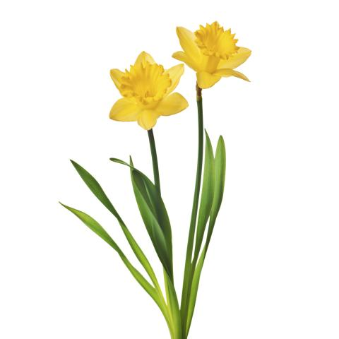Daffodil Against White Background