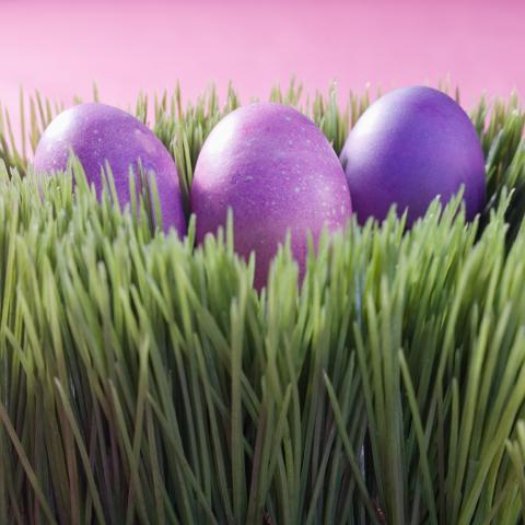 Purple Easter eggs in Ryegrass