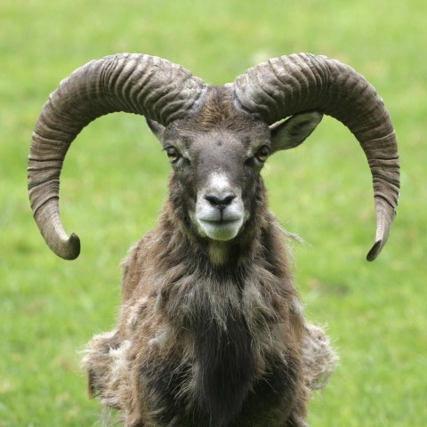 A Goat with Long Horns