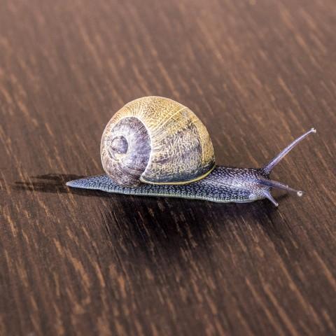 Snail On a Table