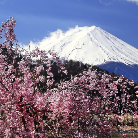 Mt. Fuji with Cherry Blossom Trees in Front