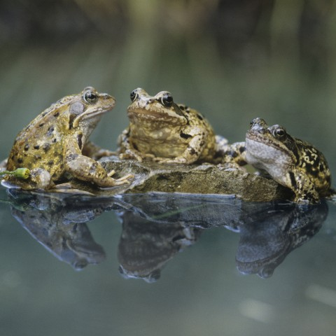 Three Frogs on Rock Together