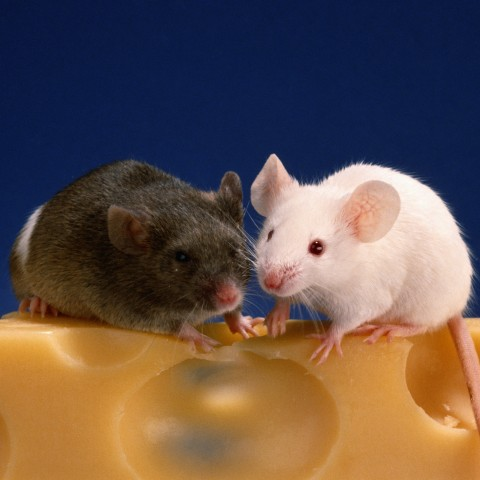 Two Mice on Cheese