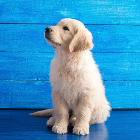 Cute Puppy Sitting in Front of Blue Wooden Wall or Door
