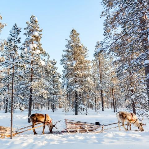 Reindeer Pulling Skis in Snow