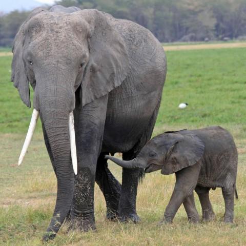 A Big and a Small Elephant.