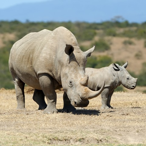 Adult and Baby Rhinoceros