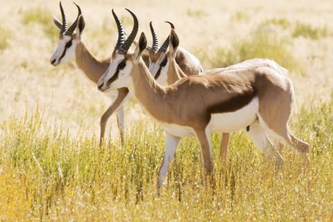 Game reserve, antelope