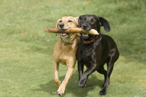 Two dogs running together, holding one stick