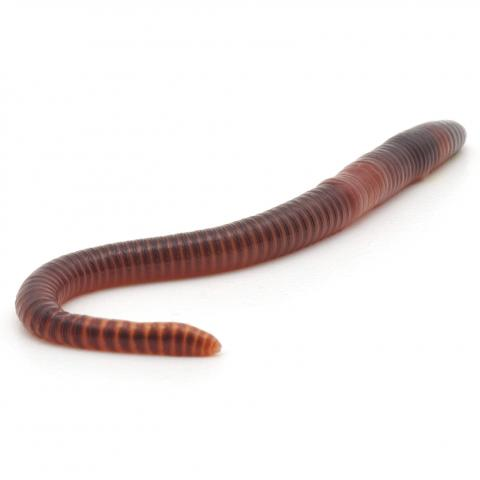 A Worm on White Background